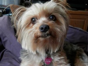 Yorkshire terrier shih tzu mix information
