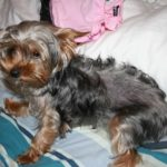 Yorkshire terrier skin problems