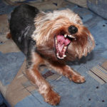 Yorkshire terrier teeth