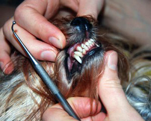 Yorkshire terrier teeth falling out