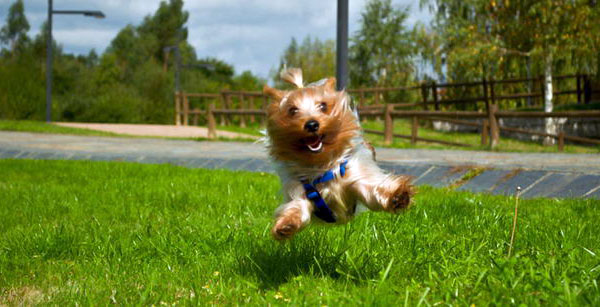Yorkshire terrier training tips