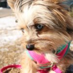 Yorkshire terrier with blue eyes