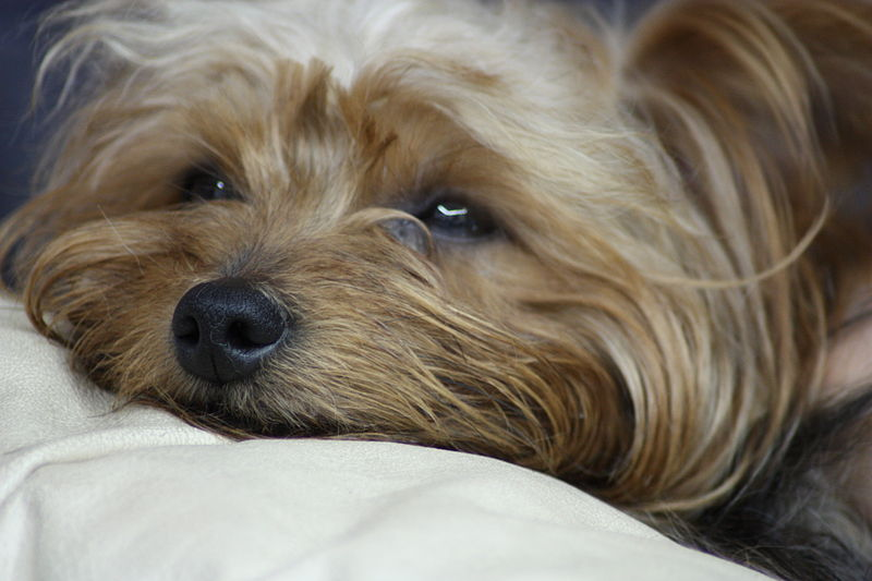 Yorkshire terriers and allergies