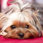 Yorkshire terriers eyesight