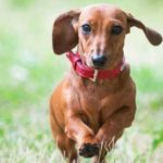 All about dachshunds health