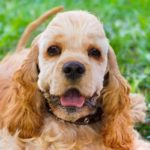 American cocker spaniel common health problems