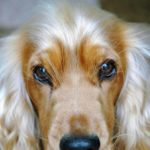 American cocker spaniel eye problems