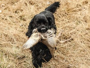American cocker spaniel for hunting