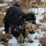 American cocker spaniel hunting breeders