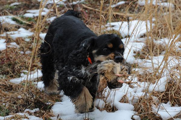 American cocker spaniel hunting breeders