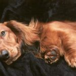 American cocker spaniel pregnancy