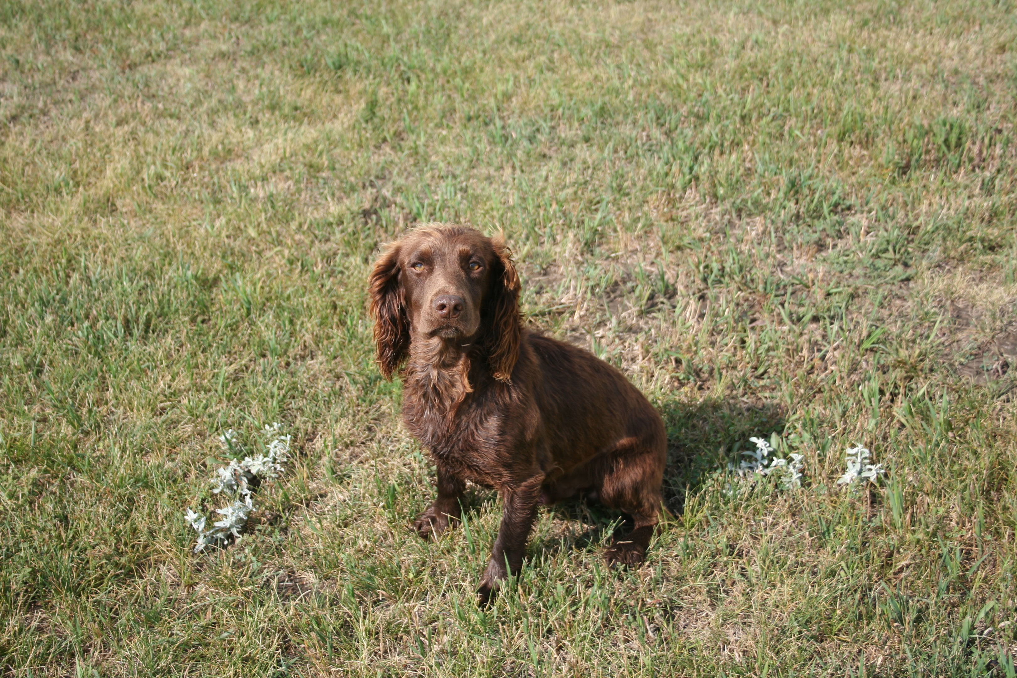 Are cocker spaniels good hunting dogs