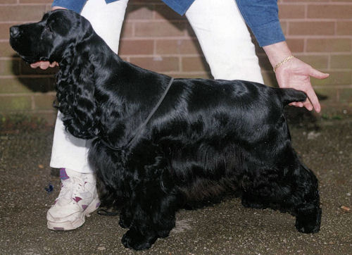 Are cocker spaniels tails docked