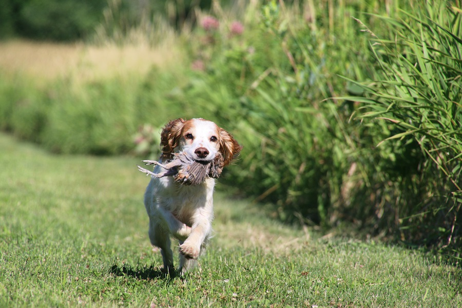 Are english cocker spaniels good hunting dogs