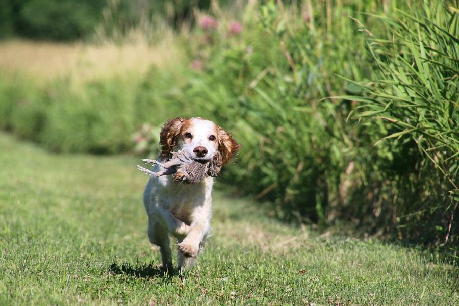 Training A Bird Dog Puppy