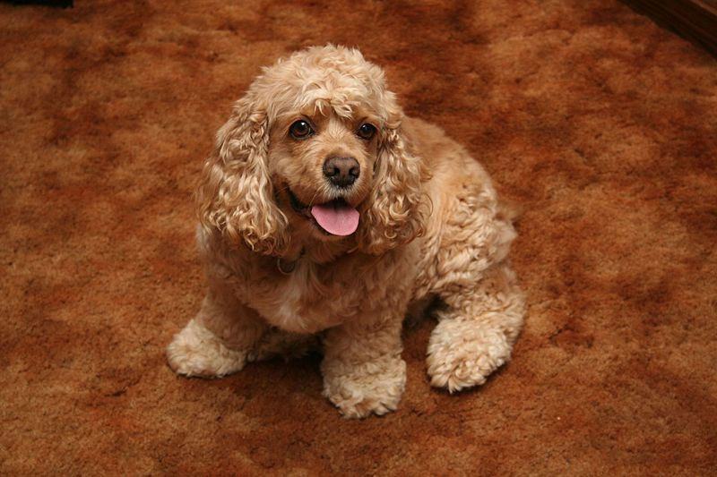 Average life expectancy american cocker spaniel