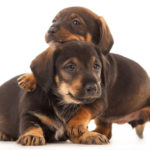 Best dog food for dachshund puppies