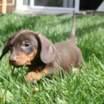 Best dog food miniature dachshund