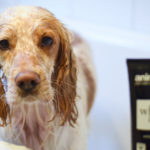 Best shampoo for english cocker spaniels