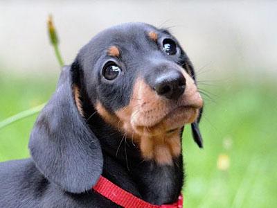 Black and tan miniature dachshund names