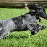 Blue roan cocker spaniel names