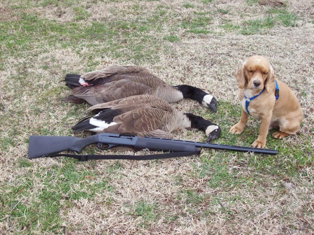 Can cocker spaniels duck hunt