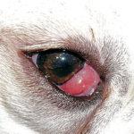 Cherry eye cocker spaniel