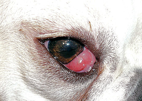 Cherry eye cocker spaniel