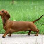 Chocolate dachshund names