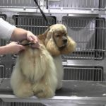 Clipping cocker spaniel tail