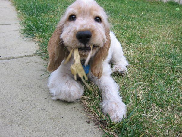 Cocker spaniel chewing tail