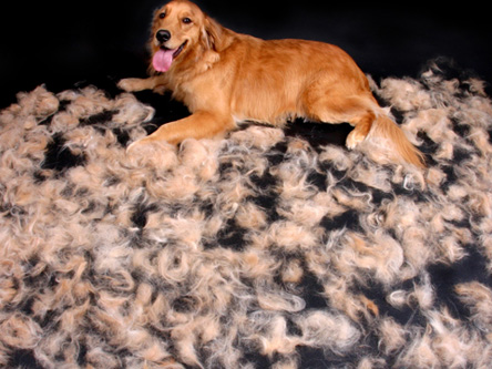Cocker spaniel coat shedding