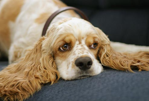 Cocker spaniel common health issues