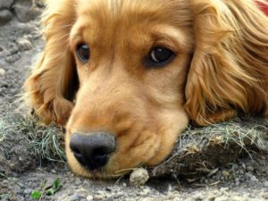 Cocker spaniel common health problems