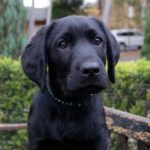 Cocker Spaniel cross labrador for sale