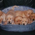 Cocker spaniel cross labrador puppies for sale