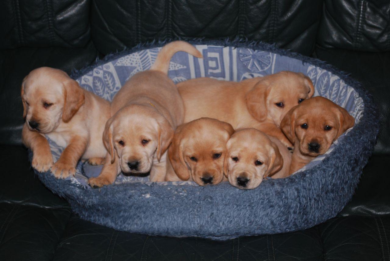 Cocker spaniel cross labrador puppies for sale