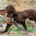 Cocker spaniel gun dog training