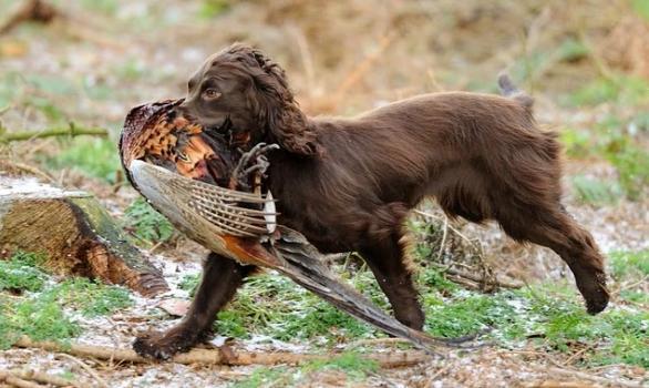 Cocker spaniel gun dog training