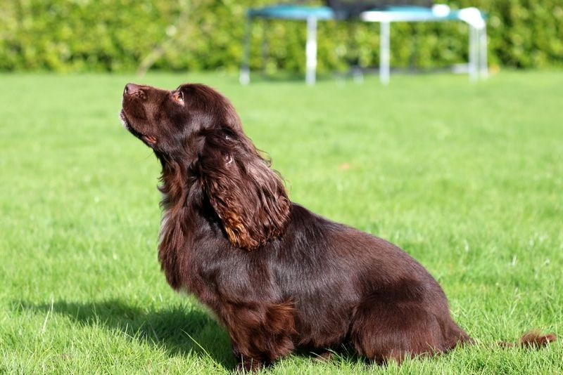 Cocker spaniel health facts