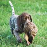 Cocker spaniel hunting dogs for sale