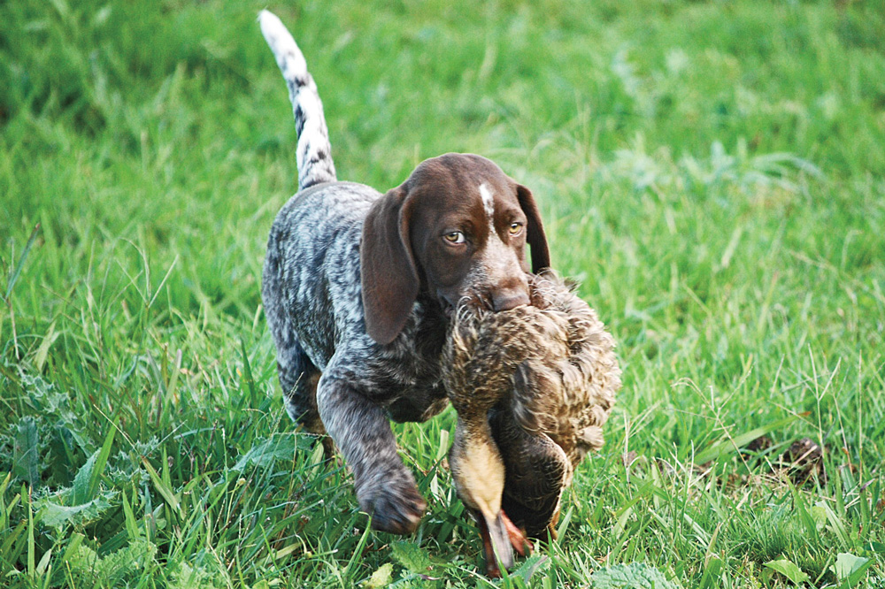 Dove Hunting Dogs For Sale