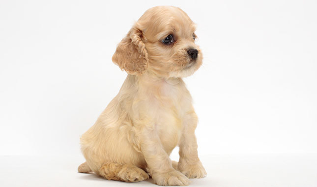 Cocker spaniel names male puppy