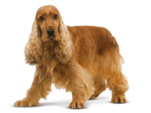 Cocker spaniel phantom pregnancy symptoms