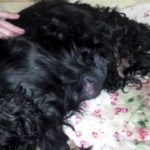 Cocker spaniel pregnancy symptoms