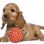 Cocker spaniel puppy training tips