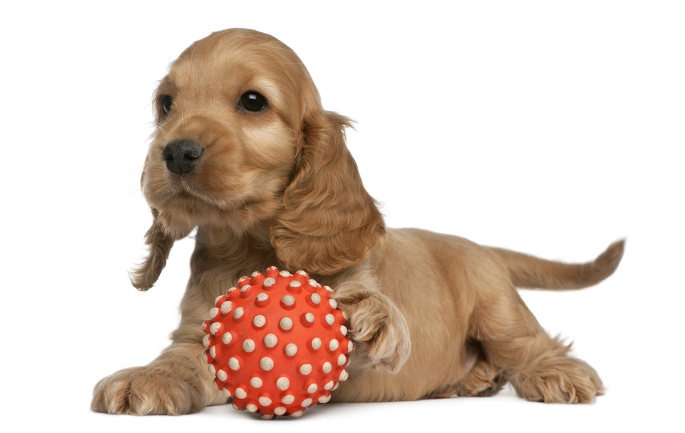 Cocker spaniel puppy training tips