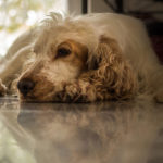 Cocker spaniel skin disorders