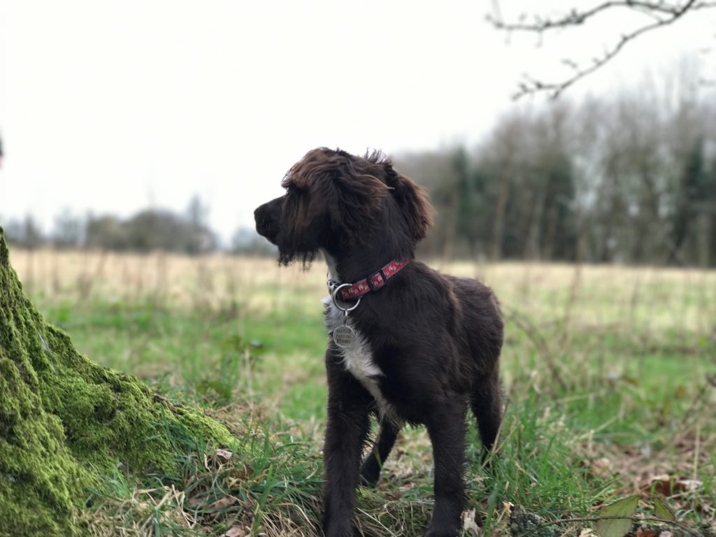 Cocker spaniel training whistle