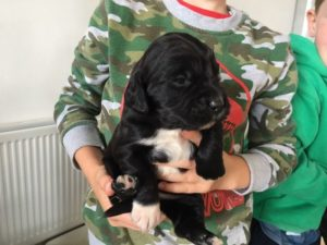 Cocker spaniel x labrador puppies for sale